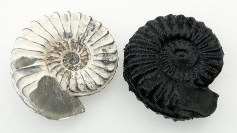 Amoniti - specimen din colectia de paleontologia a Muzeului Victoria, AU, alaturi de un model printat 3D Imagine: Ben Healley Sursa: Museum Victoria